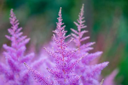 Pink Astilbe flowers closeup Reklamní fotografie