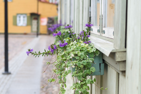 violet residential: Closeup of pot with violet flowering plants in a typical street of small european provincial town
