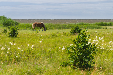 flaxen: Flaxen chestnut horse grazing on windy field by the sea