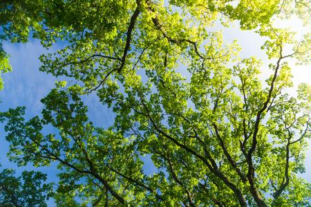 roble arbol: Árbol de roble corona desde abajo contra el cielo azul con sunflare
