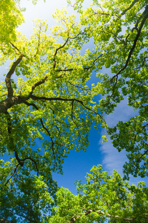 from below: Oak trees from below under blue sky with sunflare Stock Photo