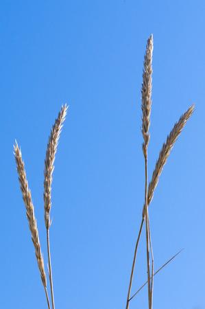 gramineous: Closeup of marram grass or beachgrass (Ammophila arenaria) against blue sky
