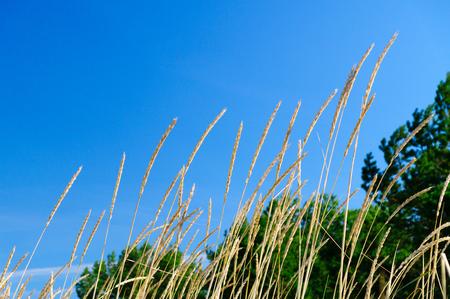 gramineous: Beach grass (Ammophila arenaria) against blue sky
