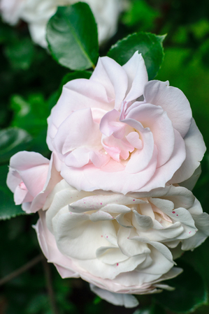 beautiful rose: Pale pink and white roses flowers closeup Stock Photo