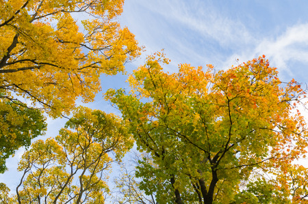 from below: Colorful autumn trees from below against blue sky