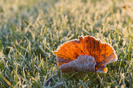 frost winter: Fallen autumn leaf on frosty grass in sunny morning light