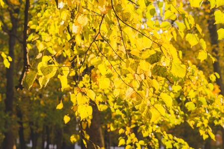 basswood: Linden branches with yellow autumn leaves sunny backlit Stock Photo