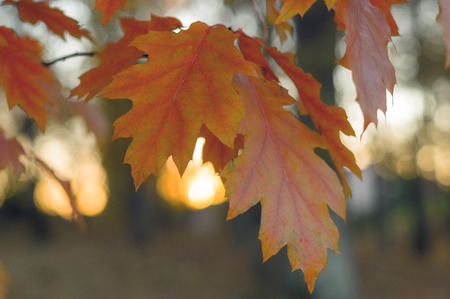 quercus: Autumn twig of nothern red oak (Quercus rubra) with orange leaves, shallow depth Stock Photo