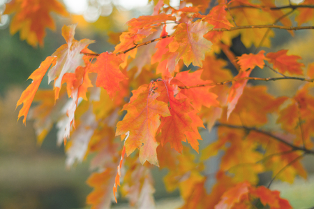 Colorful branches of champion oak (Quercus rubra) in autumn time