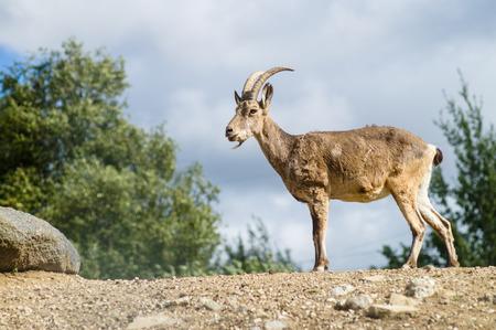 capra: Young mountain goat or West Caucasian tur Capra caucasica