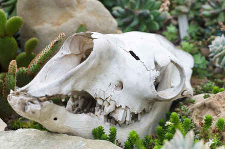 cow teeth: Skull on the ground near cactus and rocks, closeup view with selective focus Stock Photo