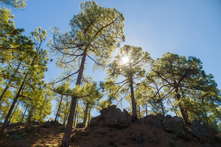 from below: Pine trees growing on volcanic soil, from below view against blue sky and sun Stock Photo
