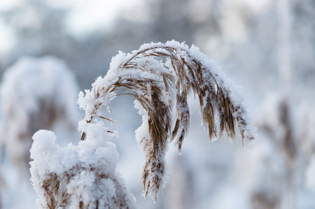 wild silky white: Closeup on reed covered by snow, shallow depth of field