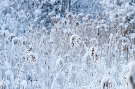 Winter-time reed thicket in snow, selective focus Stock Photo