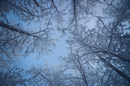 white view: Snowy treetops against blue sky, from below view