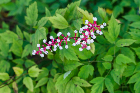 Berries of Actaea pachypoda, doll's-eyes or white baneberry