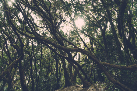 cryptic: Vintage toned image of laurel forest in Anaga National Park, Tenerife, Canary islands, Spain