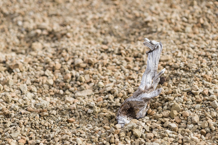 gnarled: Gnarled dry twig of pine against igneous stones background