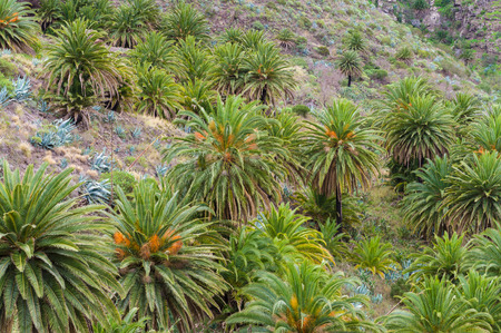 mountainscape: Hill slope with palm trees and agave