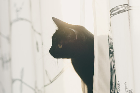 sun flare: Black cat look out from curtains, morning sun flare behind