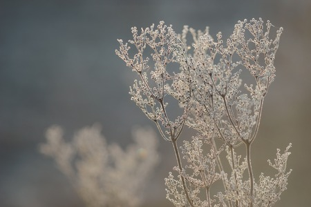 bunchy: Dry plants in hoarfrost with bokeh against morning sunlight
