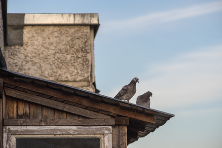 feral: Two grey feral pigeons standing on rooftop of suburban house Stock Photo