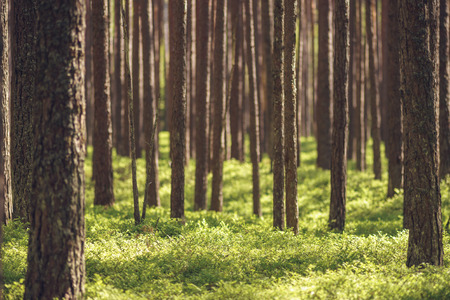 untouched: Untouched spruce pine forest by springtime. Shallow depth of field Stock Photo