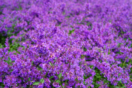 catnip: Background of Nepeta cataria or catmint flowers with drops after rain. Shallow depth of field