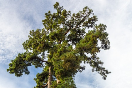 canariensis: Pino Gordo, biggest Canary Island pine or Pinus canariensis tree in the world. 45 meters high and approximately 700 years old.