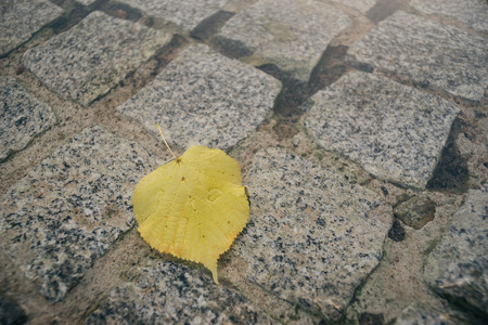 lime tree: Fallen linden or lime tree leaf on pavement in puddle, selective focus Stock Photo