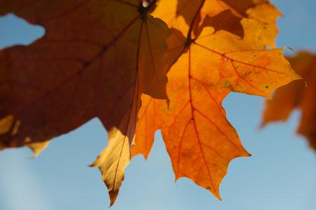 Sunlit maple leaves closeup background, selective focus