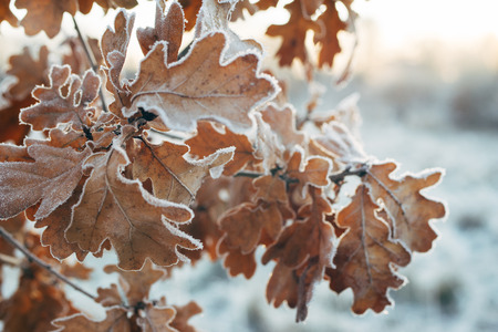 Oak tree branch with frosted leaves, season change concept, selective focus Stock Photo