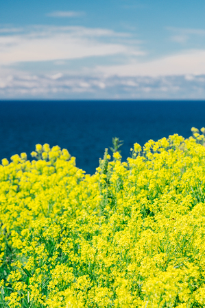 Blurred background of colza or rapeseed flowers against blue sea and clouds, vertical composition