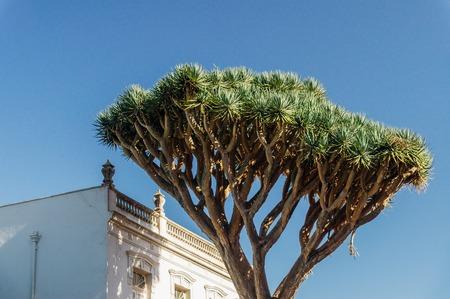 subtropical: Dracaena draco or dragon tree is natural symbol of Tenerife island