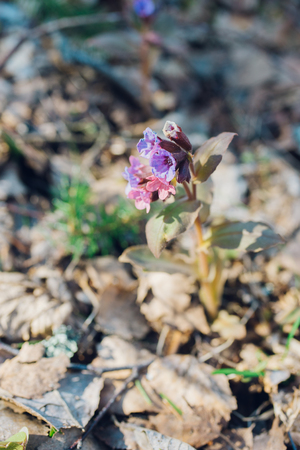 Pulmonaria or lungwort flowers by early springtime in sunlight Stock Photo