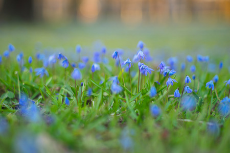Siberian squill flowers, shallow depth of field. Delicate springtime background