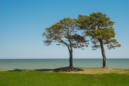 Pair of pine trees on grassy coast against blue sky and sea