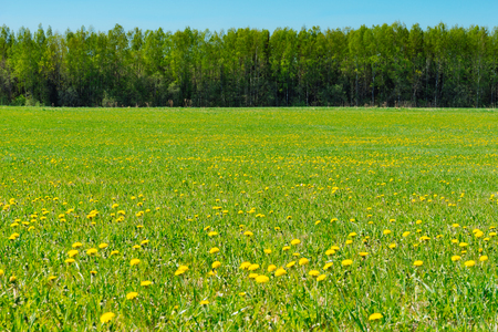 Lush springtime field with dandelion flowers, forest and blue sky on background