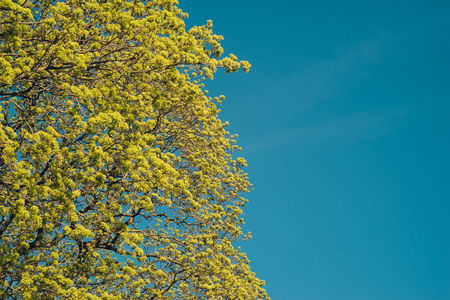 Blossoming branches of a maple tree in the spring against blue sky