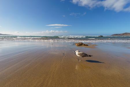 Single sea gull on sandy beach against waves
