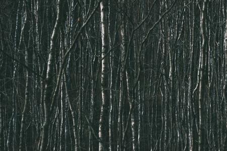 Leafless birch tree trunks, early spring abstract background Reklamní fotografie