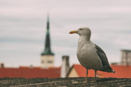 Sea gull against old town of Tallinn city, Estonia