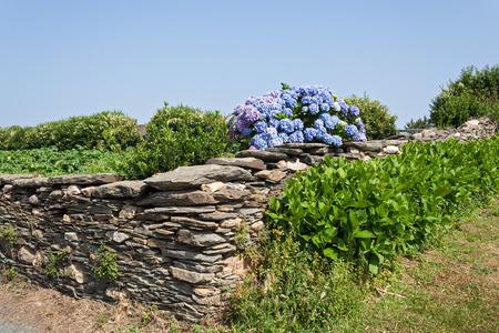 stone wall: blue hydrangeas behind a stone wall in Galicia Spain