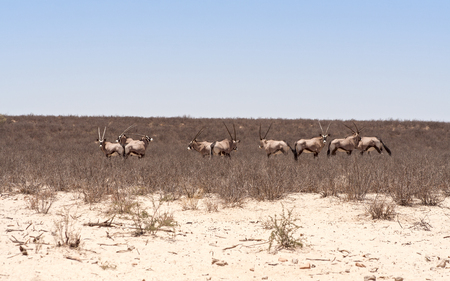 kalahari: herd of oryx antelope in the Kalahari desert Stock Photo