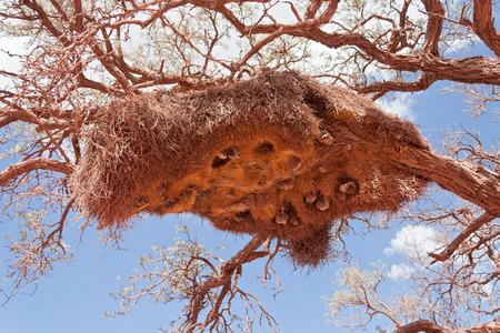 カラハリ砂漠、南アフリカ共和国で社交的な織工の巣