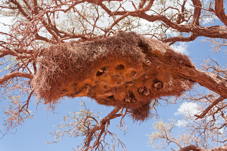 weavers: Sociable Weavers nest in the Kalahari Desert, South Africa
