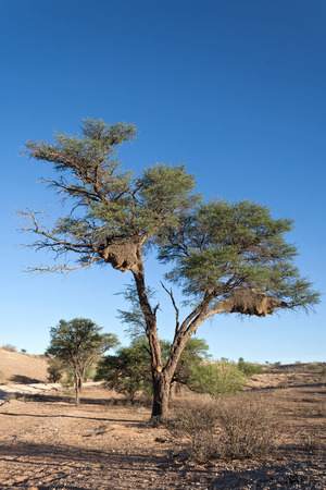 weavers: Sociable Weavers nest in the Kalahari Desert South Africa