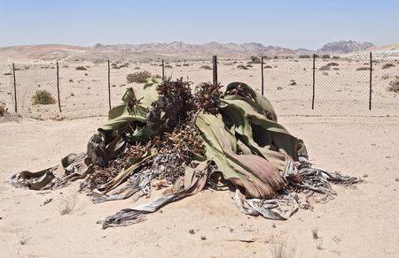 plains: Welwitschia mirabilis so named as living fossil, Welwitschia Plains, Namibia
