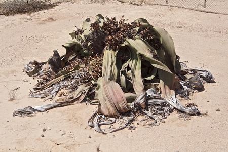 mirabilis: Welwitschia mirabilis so named as living fossil, Welwitschia Plains, Namibia