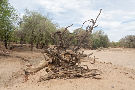 riverbed: dead tree in the dry riverbed of the Ugab River, Namibia